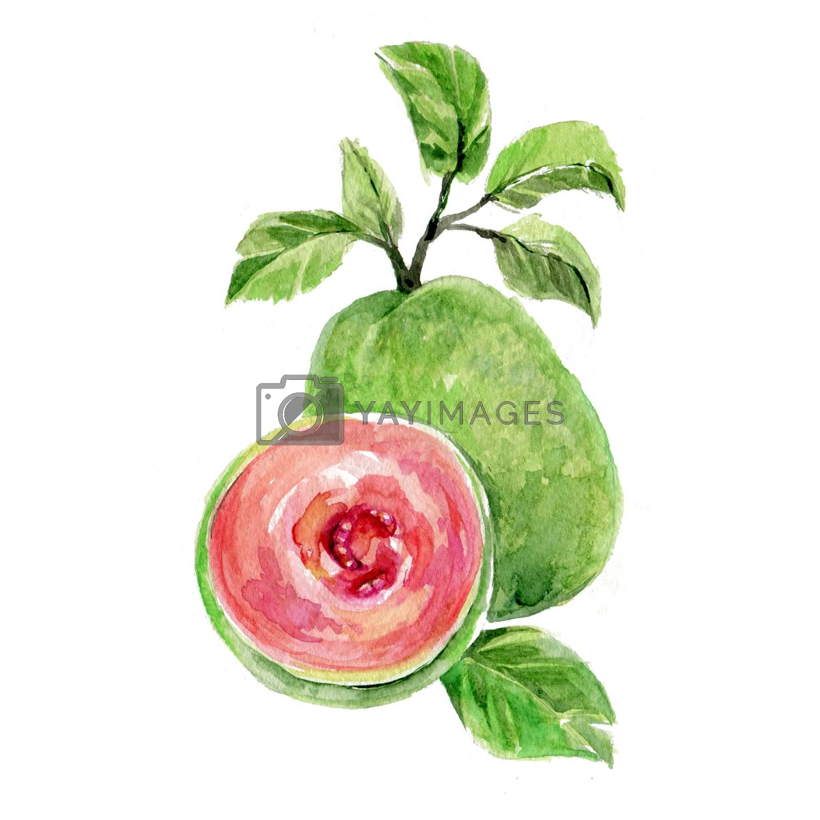 Watercolor Guava. Hand Drawn Illustration Organic Food Vegetarian Ingredient