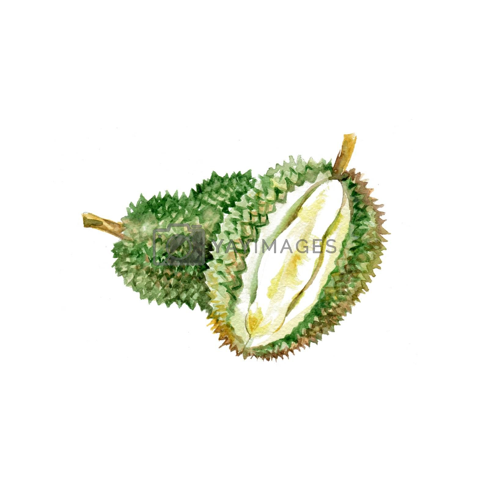 Watercolor Durian. Hand Drawn Illustration Organic Food Vegetarian Ingredient