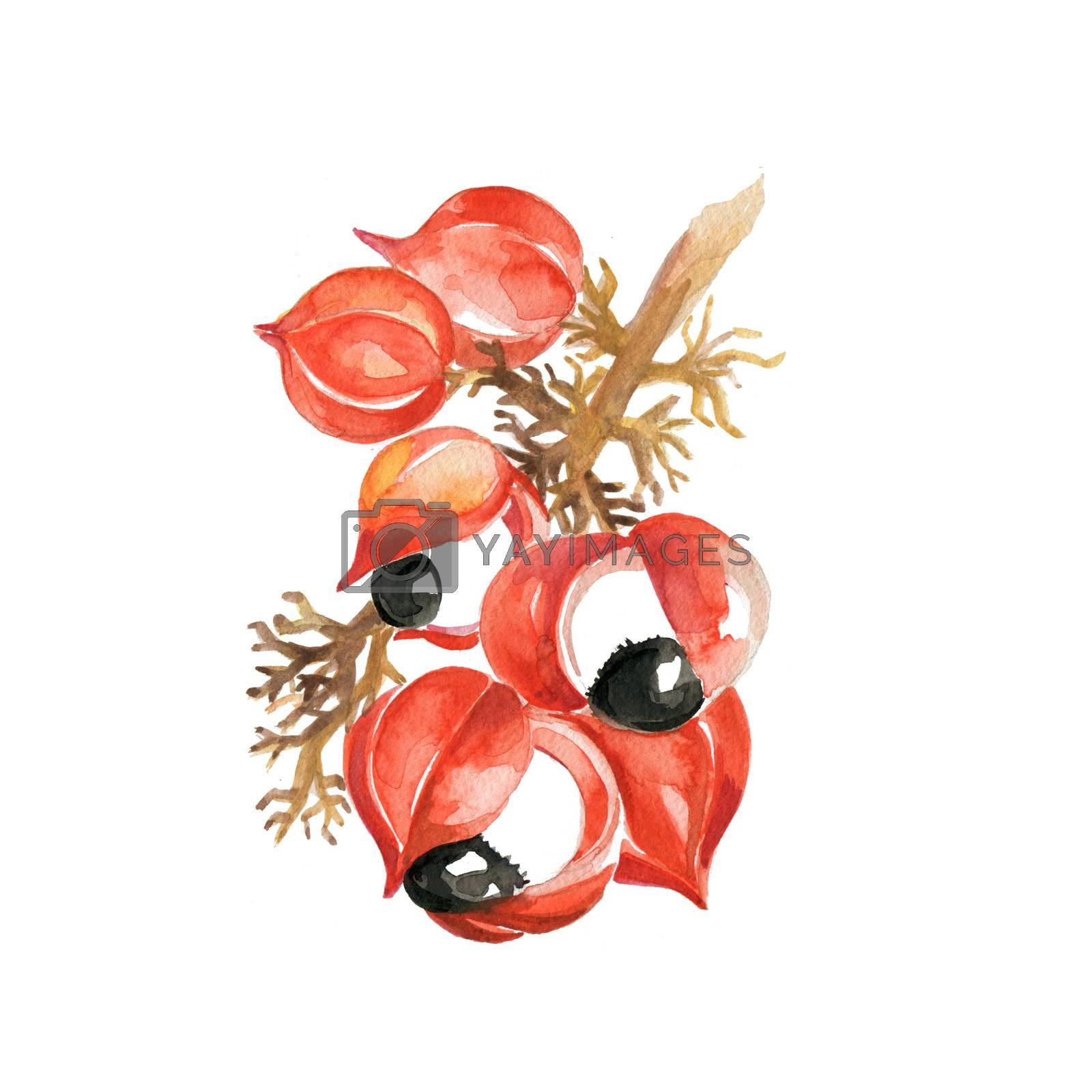Watercolor Guarana. Hand Drawn Illustration Organic Food Vegetarian Ingredient