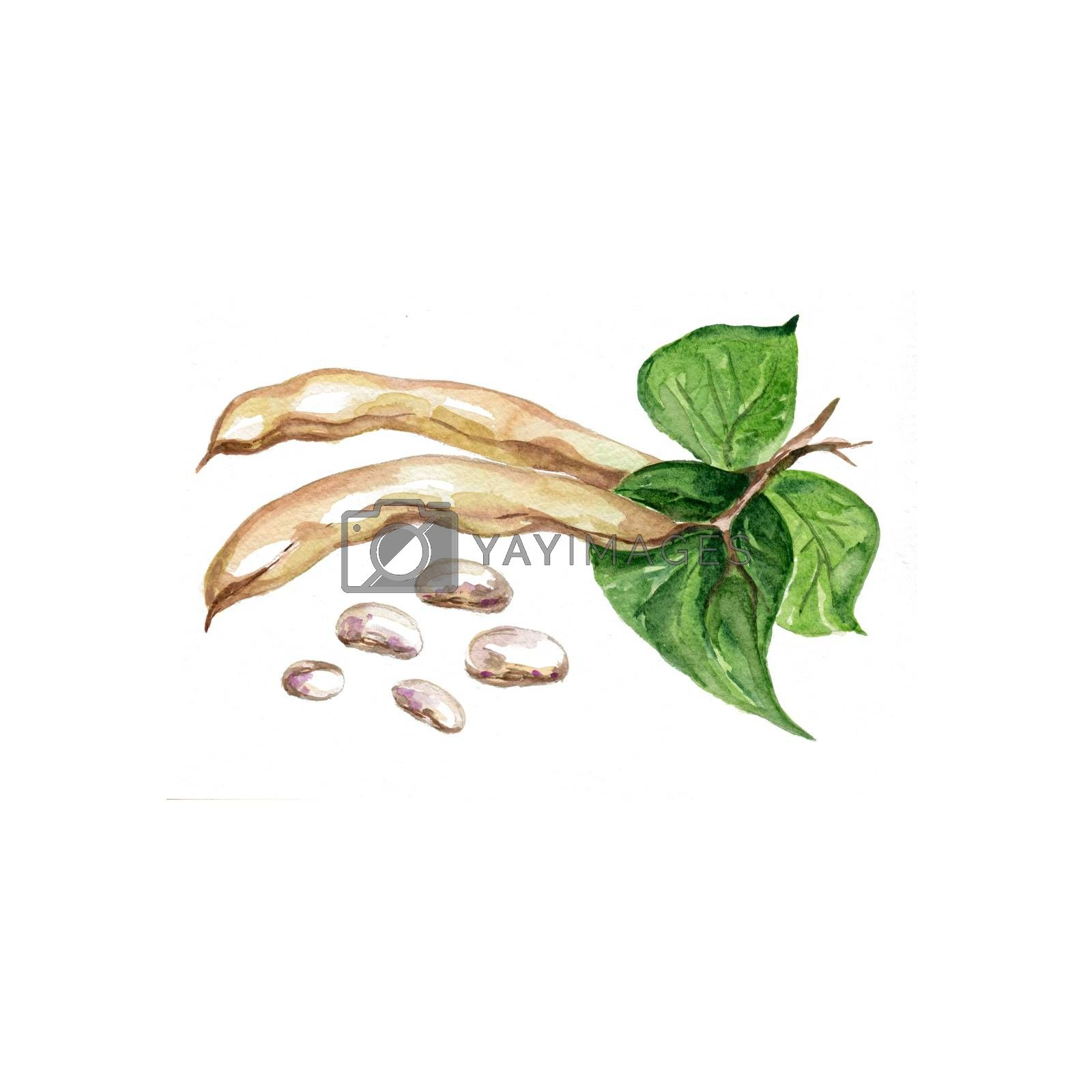 Watercolor Beans. Hand Drawn Illustration Organic Food Vegetarian Ingredient