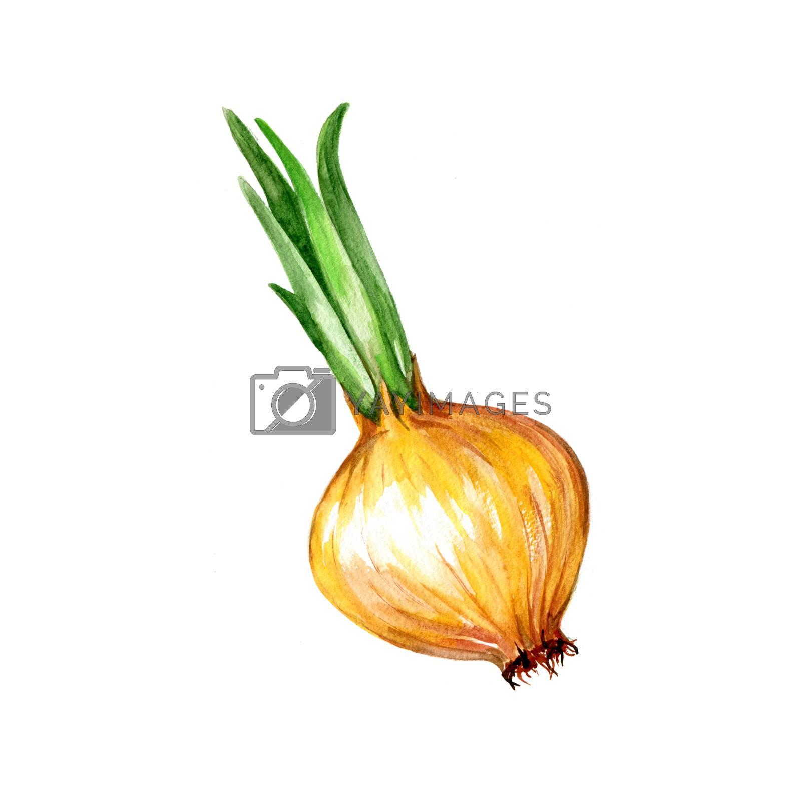 Watercolor Onion. Hand Drawn Illustration Organic Food Vegetarian Ingredient