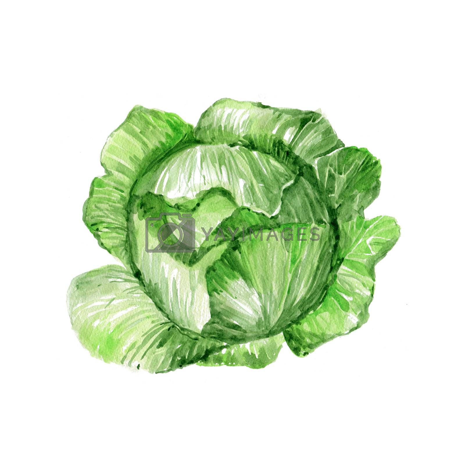 Watercolor Cabbage. Hand Drawn Illustration Organic Food Vegetarian Ingredient