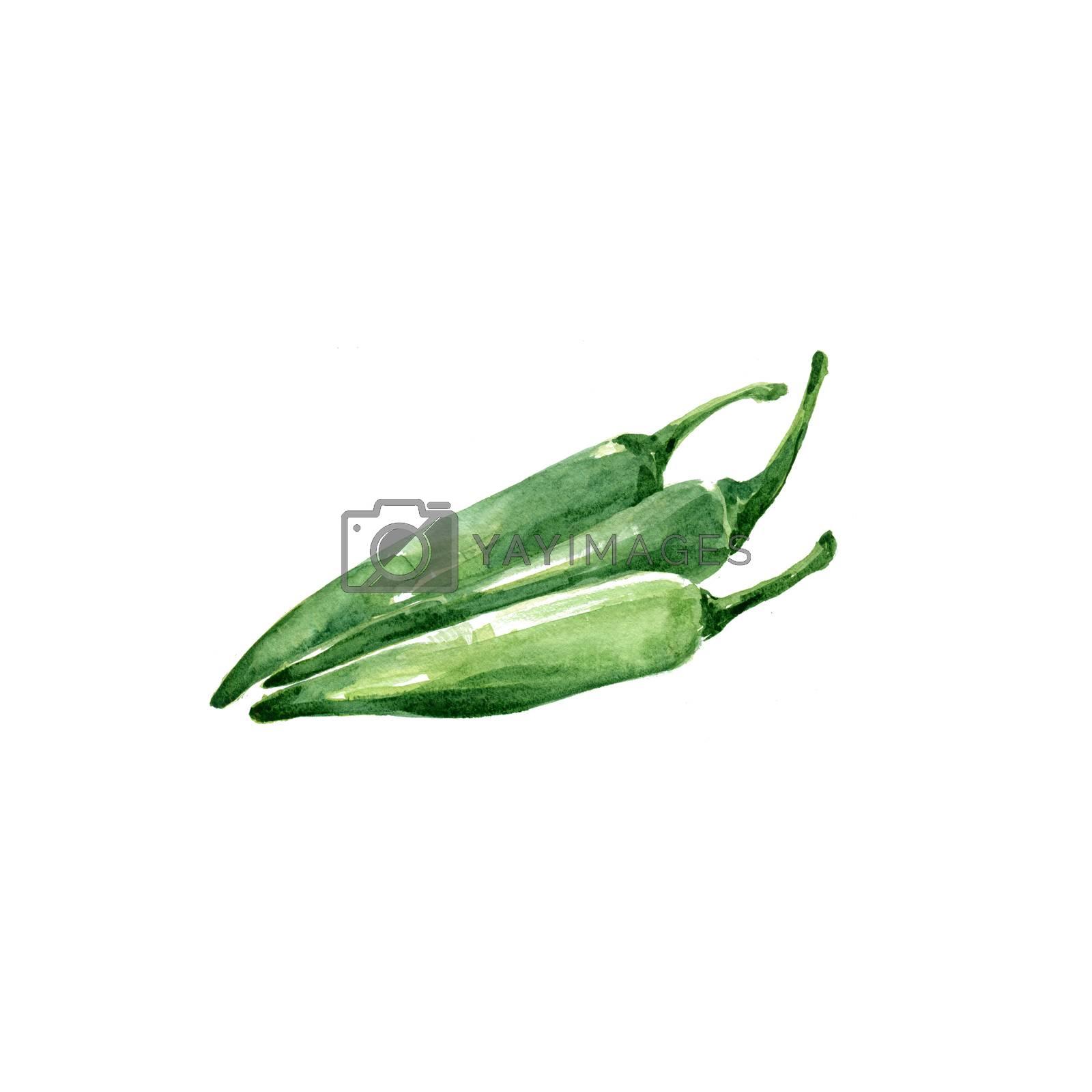 Watercolor Green Chile. Hand Drawn Illustration Organic Food Vegetarian Ingredient