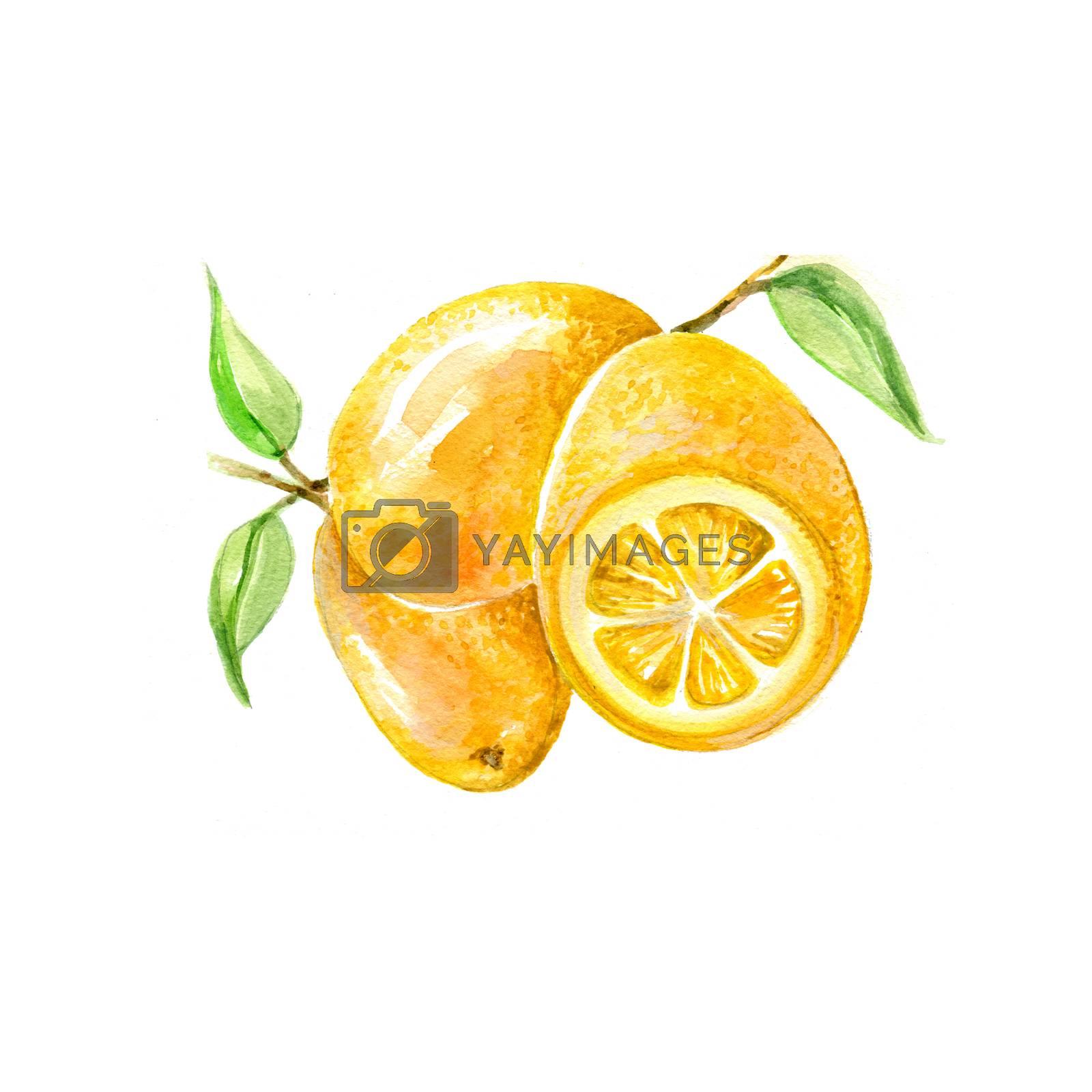 Watercolor Kumquat Citrus Fruits. Hand Drawn Illustration Organic Food Vegetarian Ingredient
