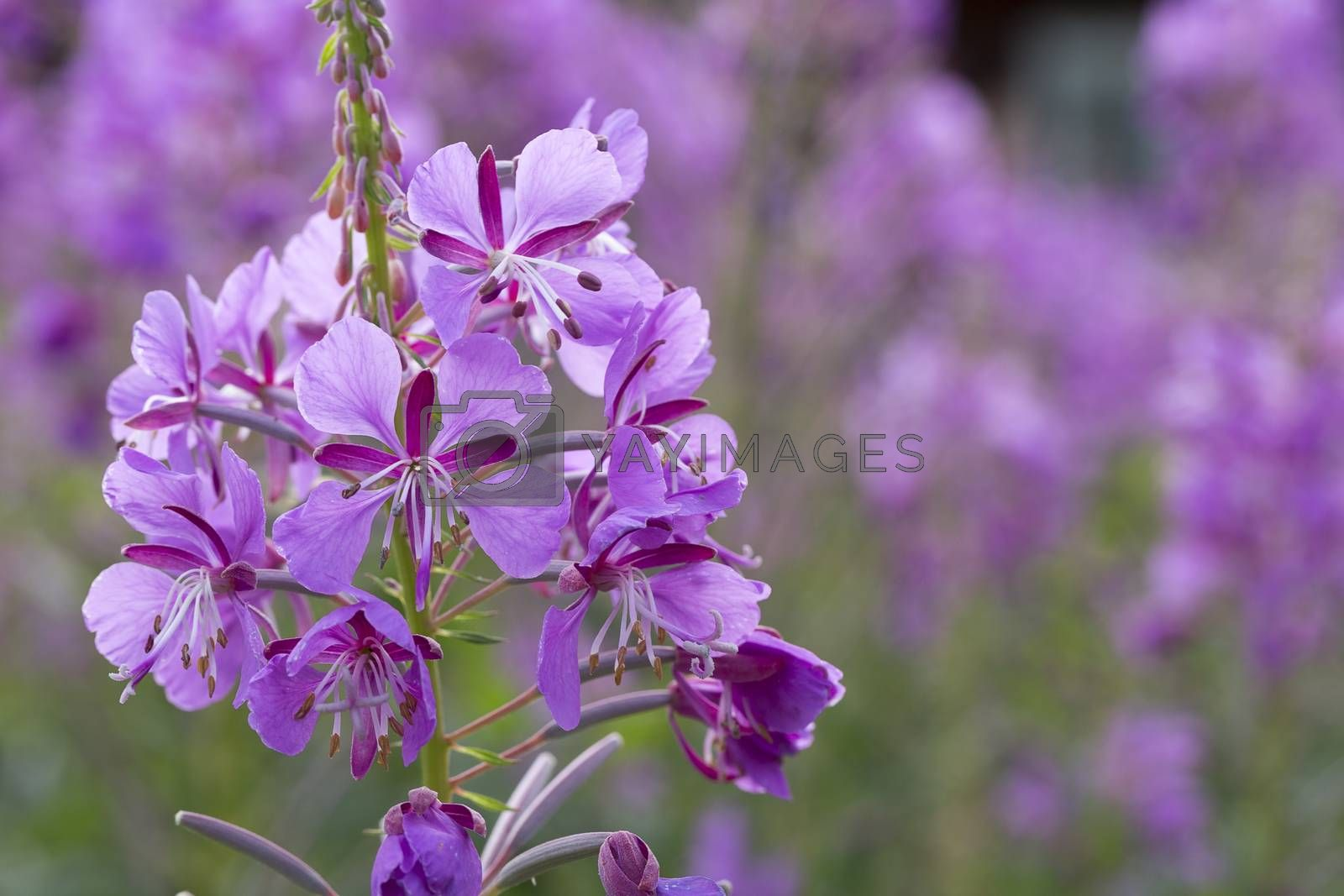 Fireweed Flowers close up.