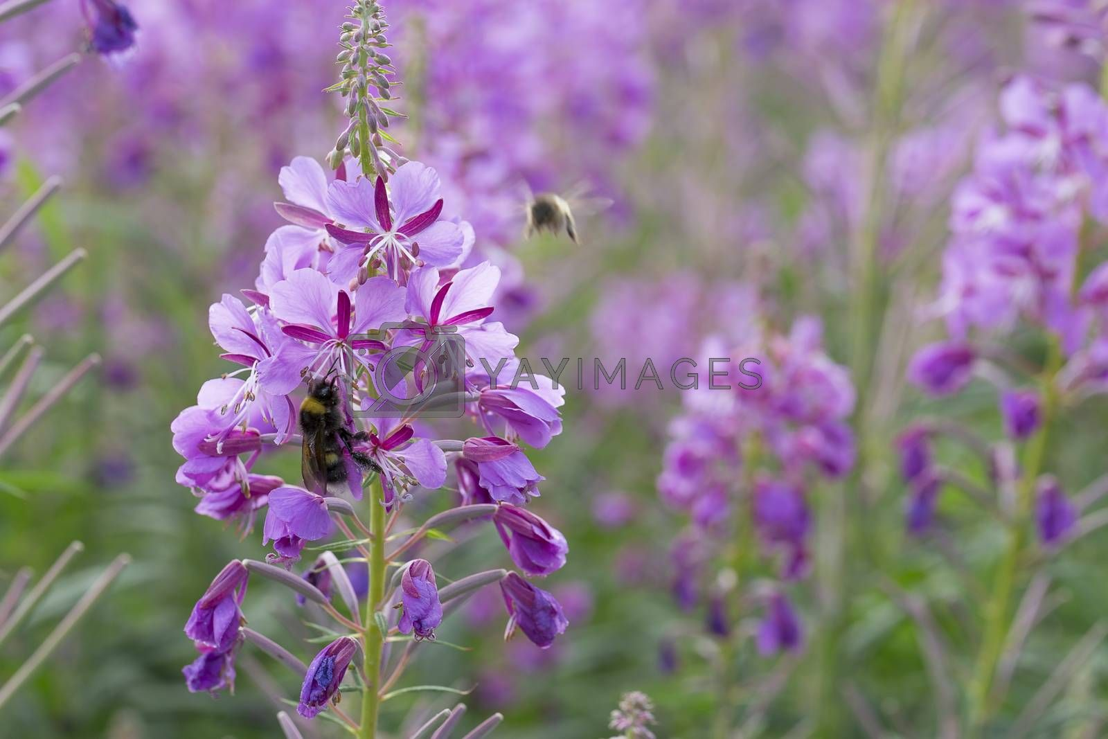 Fireweed Flowers with Bumble Bee close up.