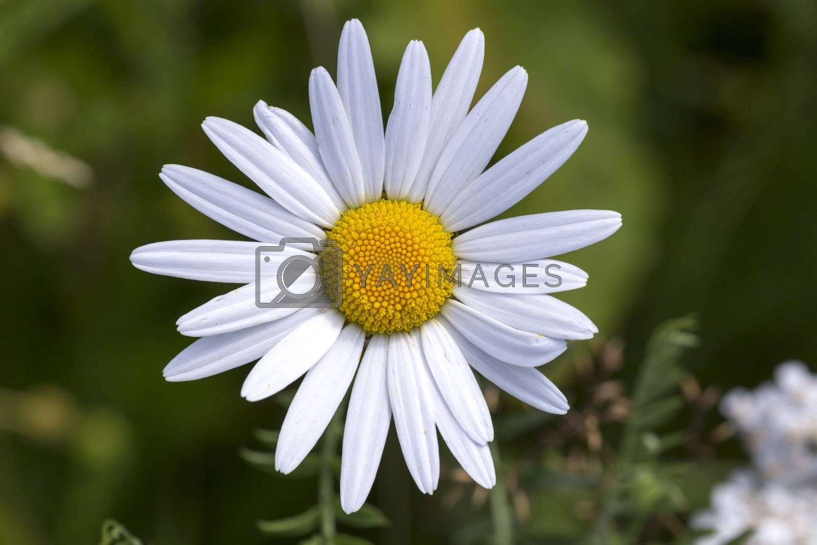 Oxeye Daisy Flower Close Up by Emmoth