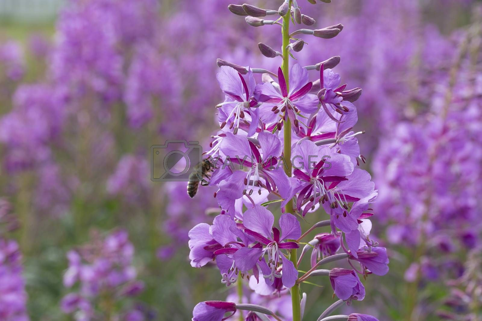 Fireweed Flowers with Bee close up.