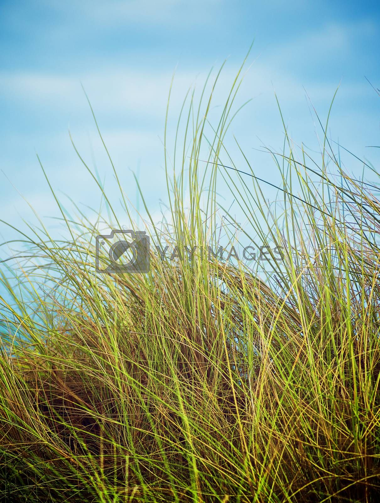 Feather-Grass on Blurred Blue Sky background in Summer Day Outdoors