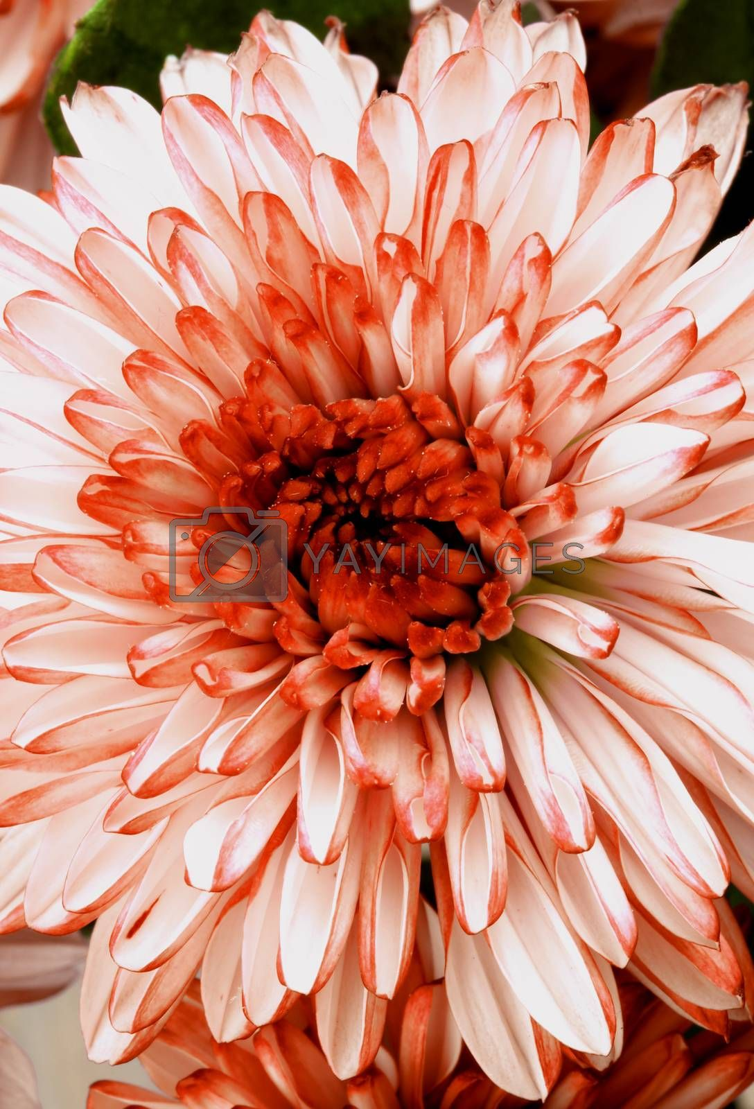 Beautiful Red and White Chrysanthemum closeup as Background