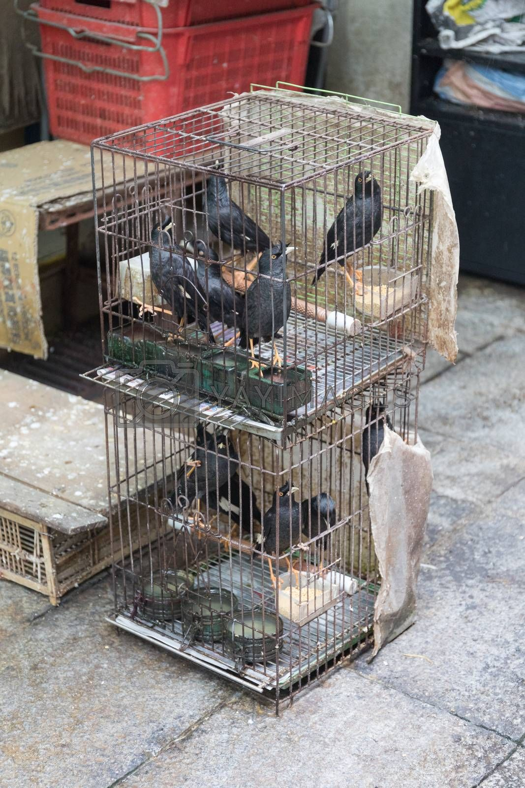Ravens and Crows in Cages at Market