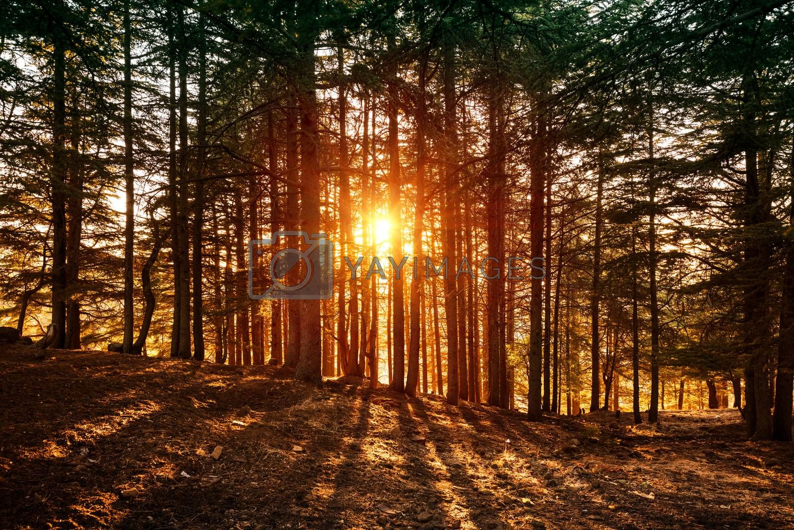 Beautiful forest landscape, bright sunlight makes its way through the trunks of pines, amazing sunset, beauty of wild nature