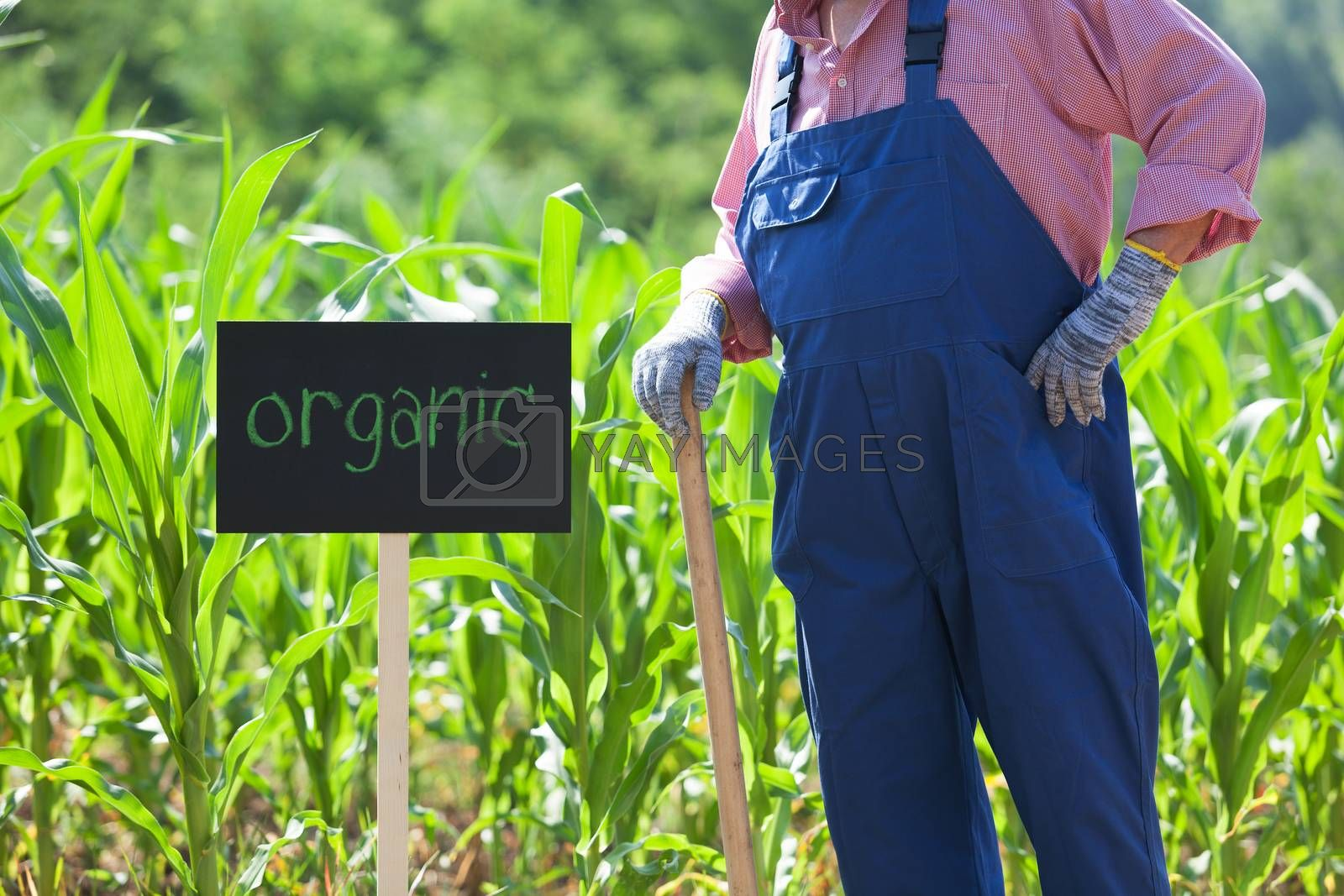 Farmer standing in front of the organic corn field