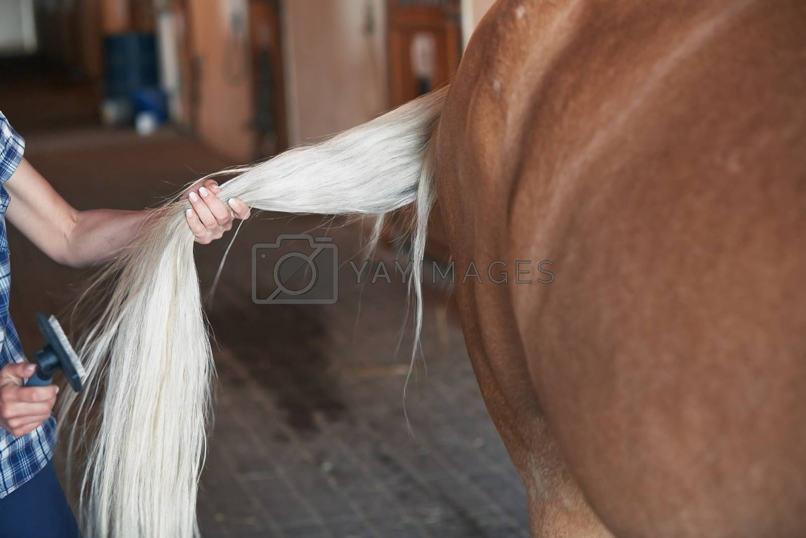 Woman combing tail of horse