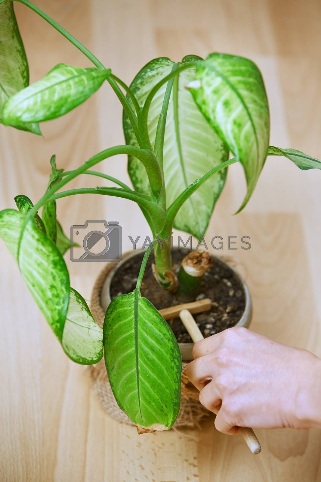 Woman gardening potted plant