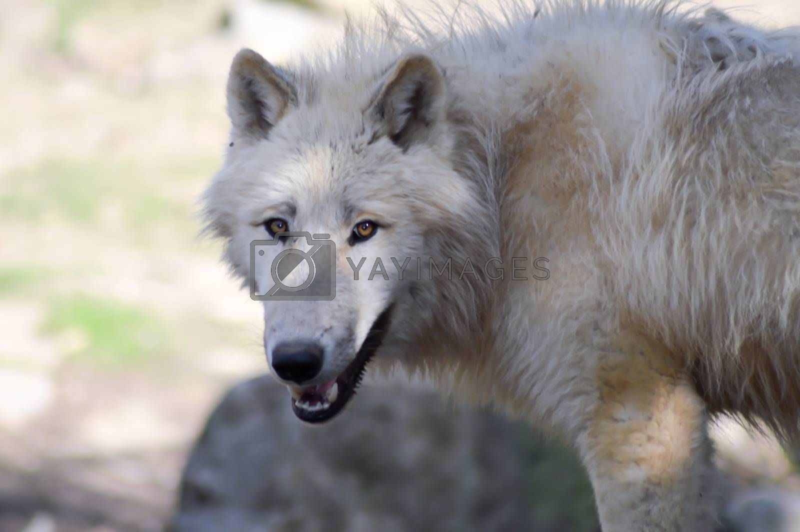 wolf isoler in an animal park in the north of France