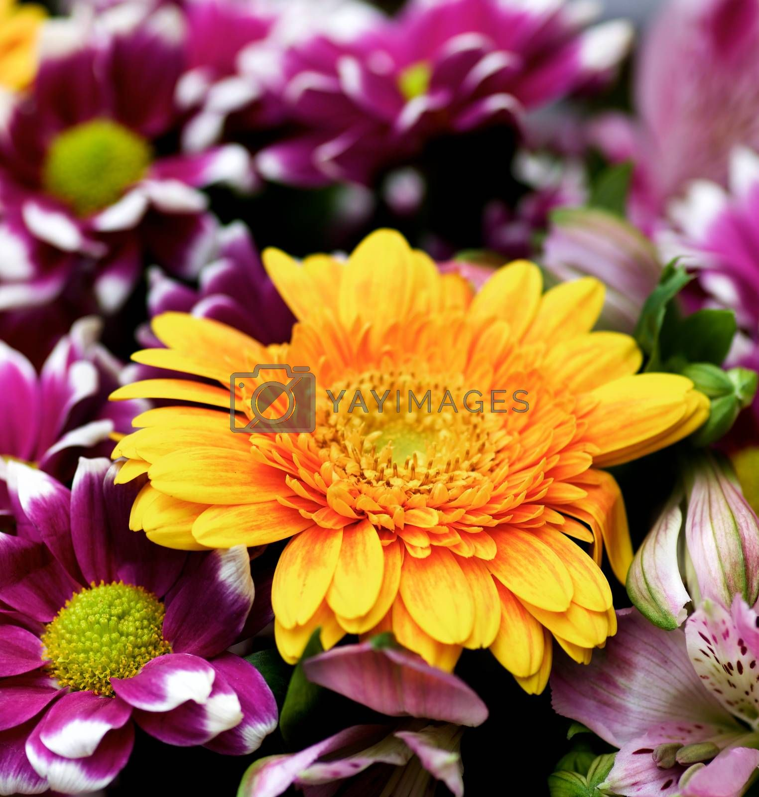 Colorful Summer Bouquet with Yellow Gerber Flower, Purple Chrysanthemum and Pink Alstroemeria on Blurred background closeup. Selective Focus