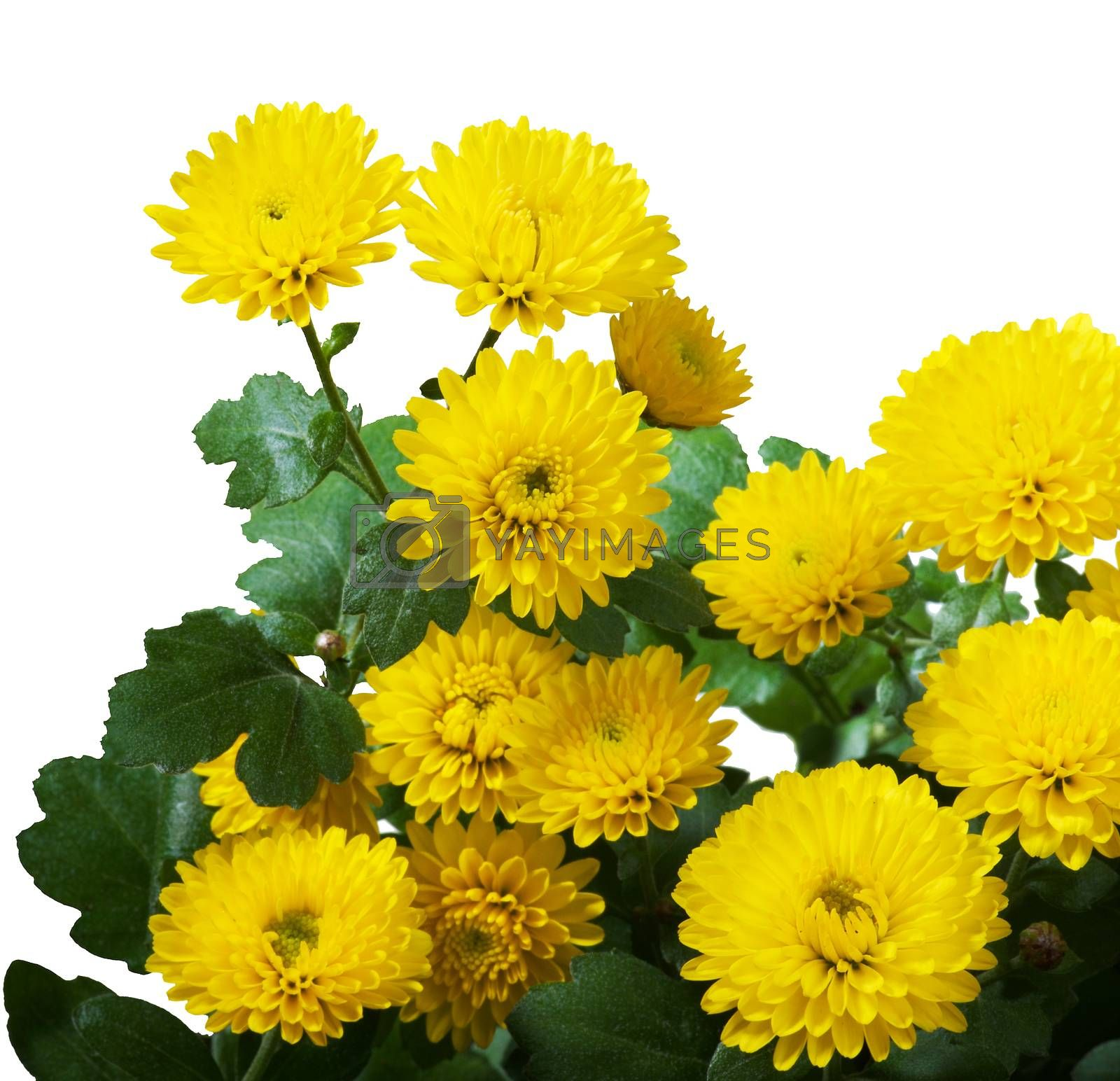 Bunch of Beautiful Small Yellow Chrysanthemum Isolated on White background