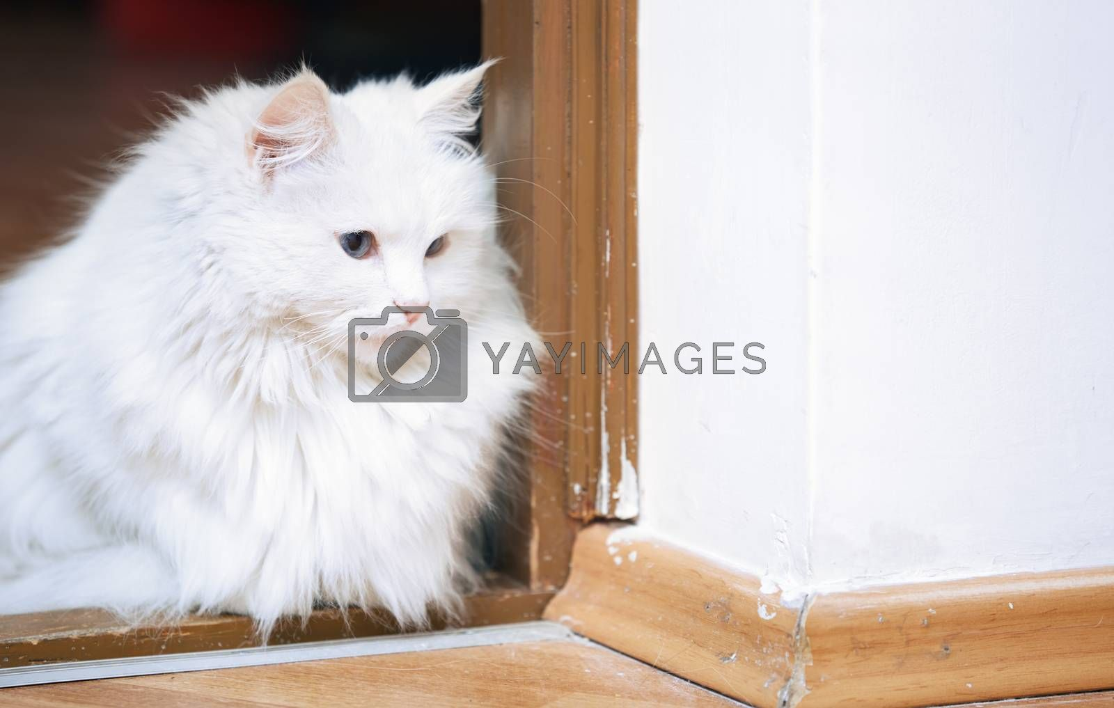 Fluffy white cat sitting on a floor