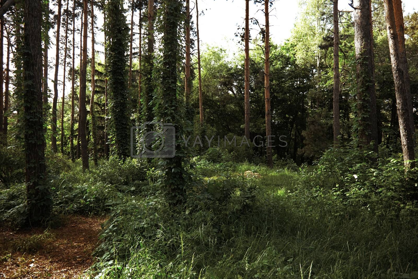 Forest with pine trees