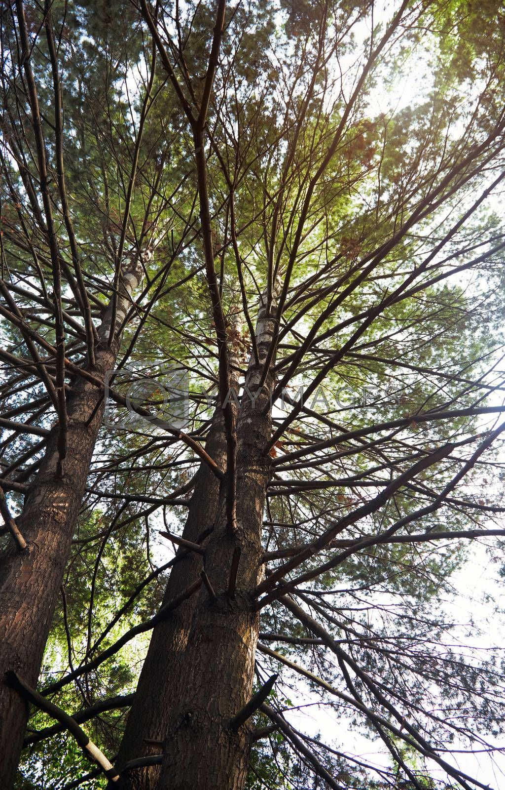 Pines in a wild forest. Vertical photo