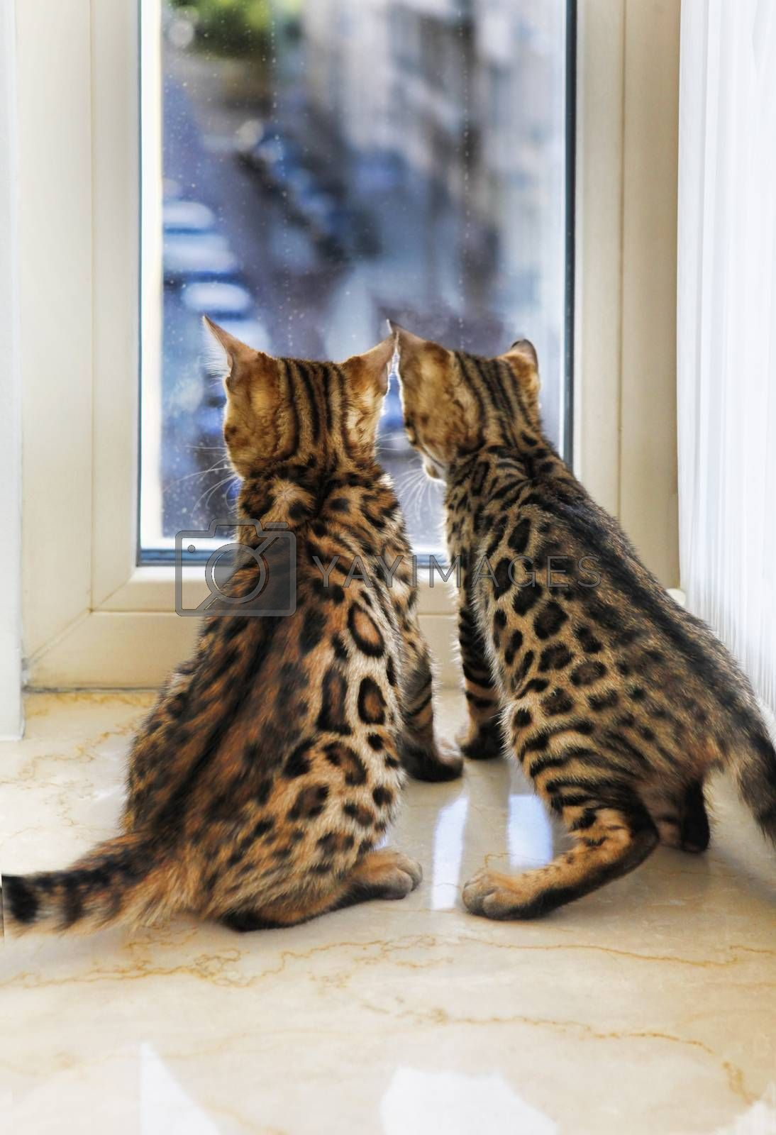 Little Bengal kittens are looking out the window