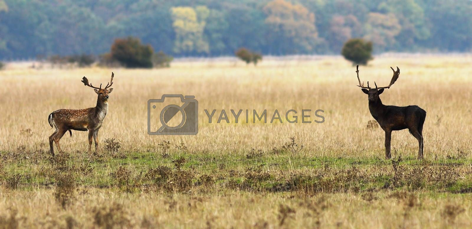 fallow deer bucks ready to fight in mating season, wild animals ( Dama )