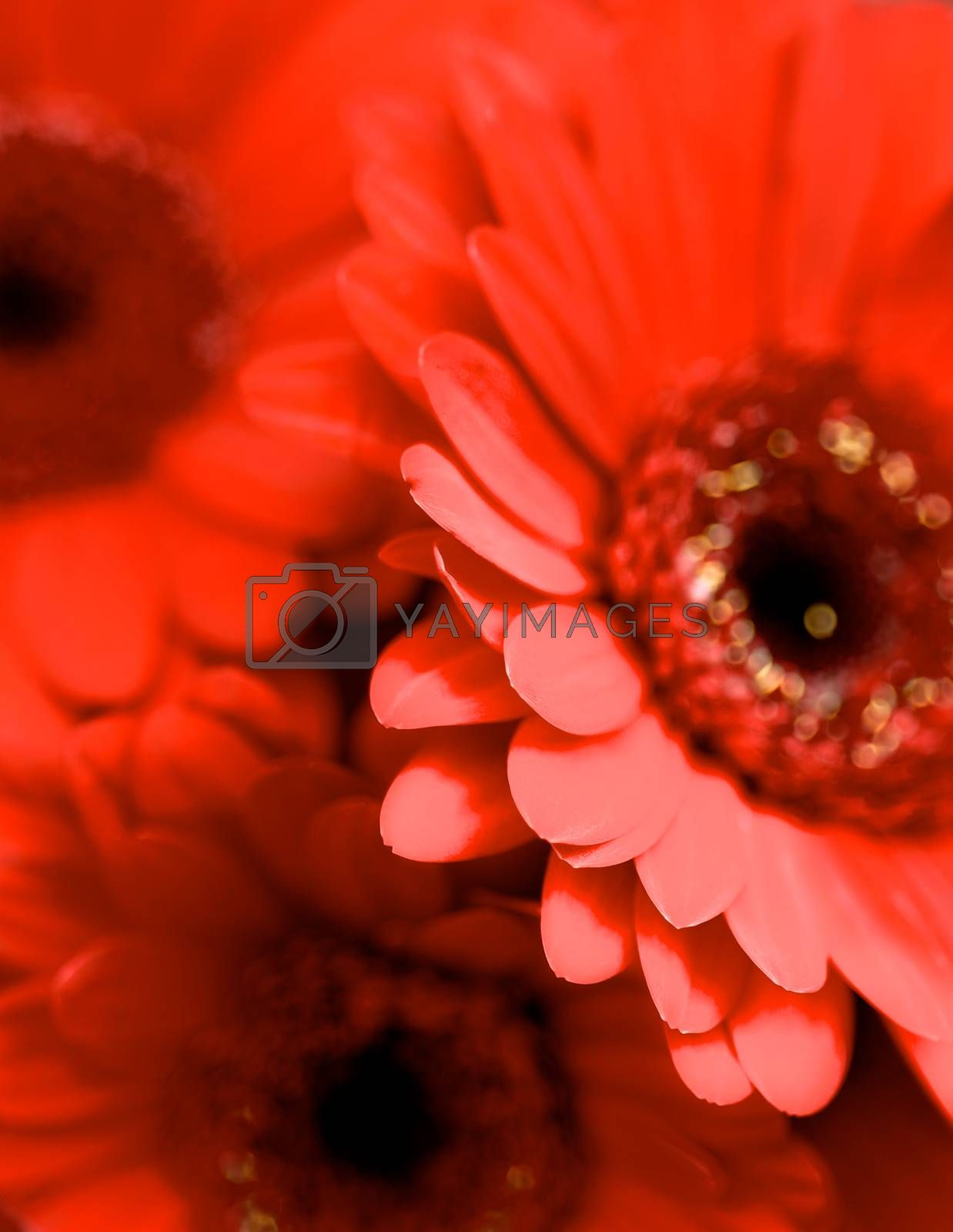 Background of Beauty Red Gerbera Flowers closeup. Focus on Edge of Petals