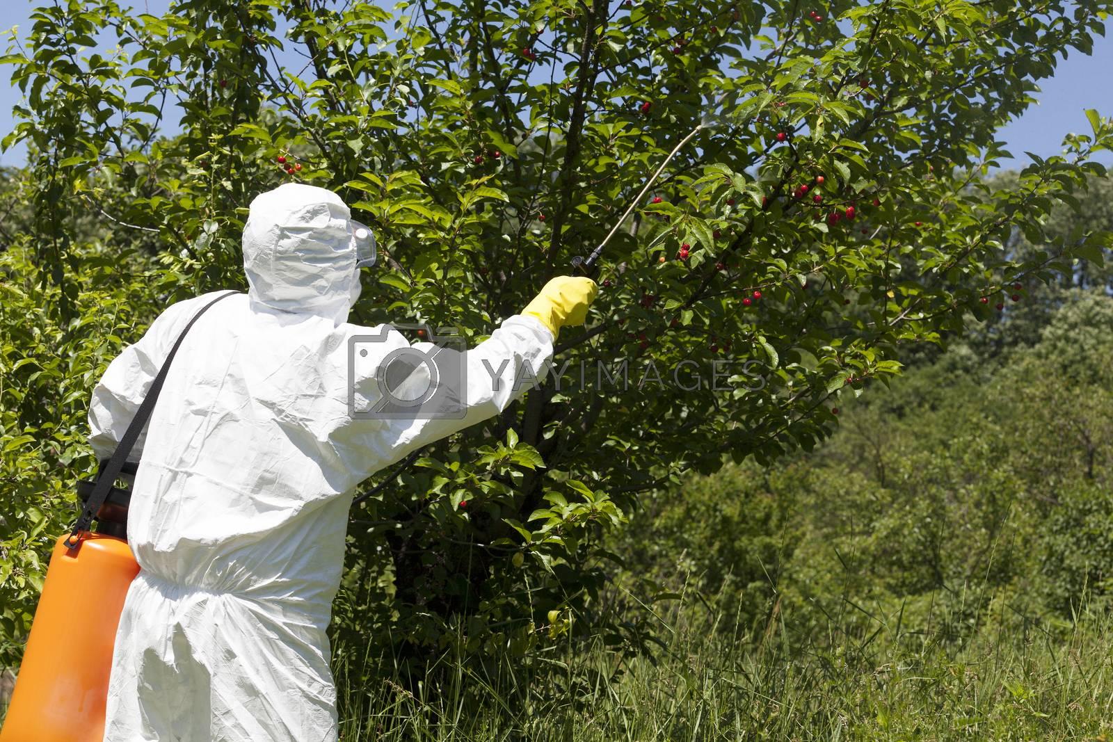 Farmer spraying toxic pesticides. Non-organic fruit.