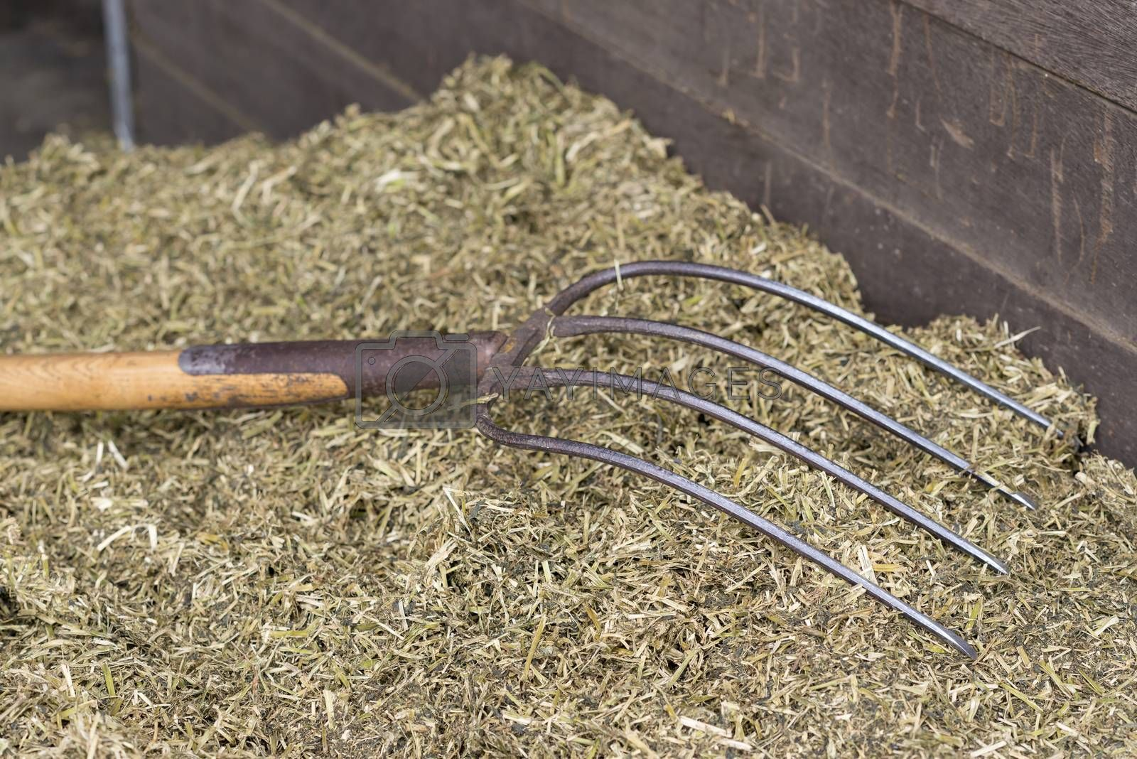 Traditional manure fork with four teeth for spreading of cattle feed