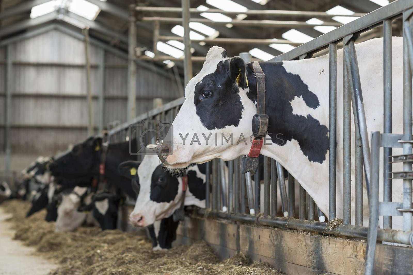 Dairy cows in an open stable on a dairy farm
