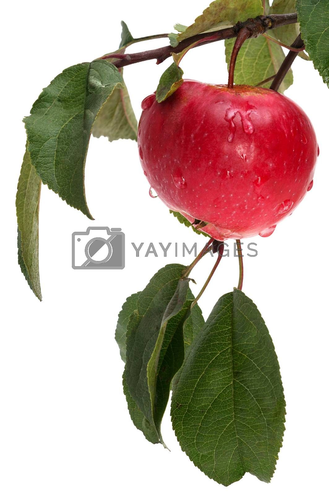 apple on the branch isolated on white background
