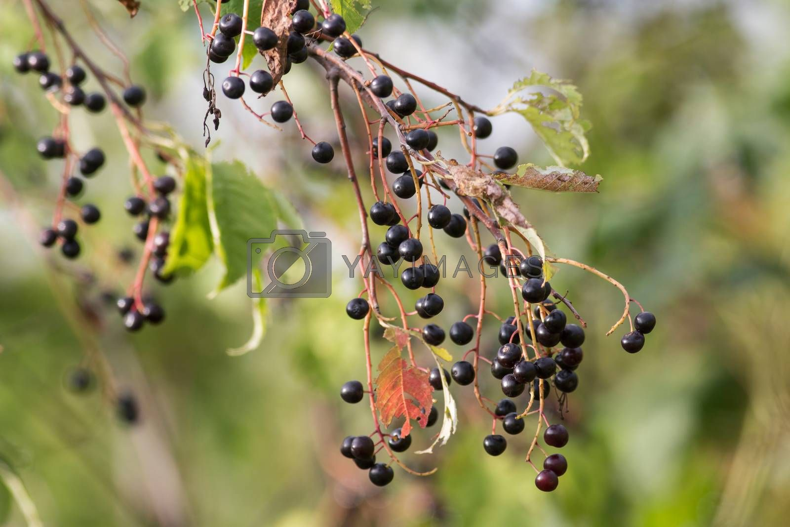 bunches of ripe black fruits of bird cherry
