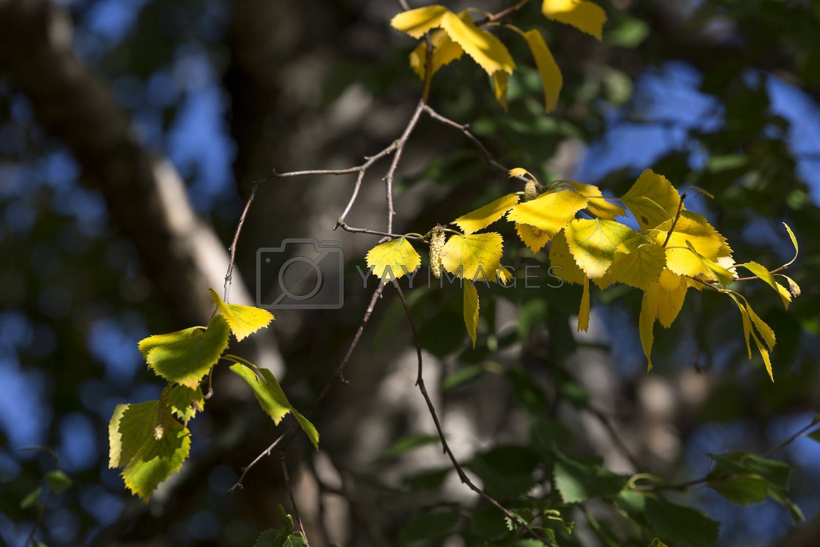 Yellow Birch Leaves in Tree with green leaves.