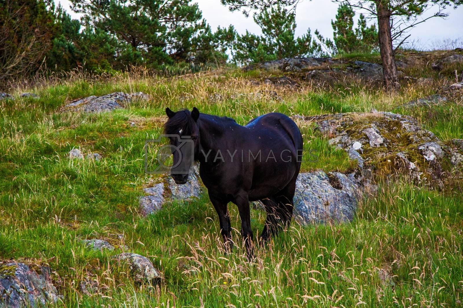Wild black horse in mountain of norway