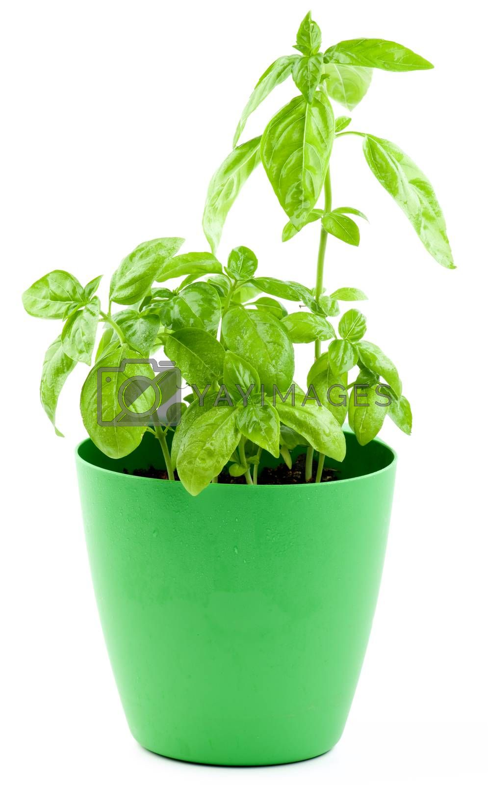 Bunch of Fresh Green Lush Foliage Basil in Green Flower Pot isolated on White background