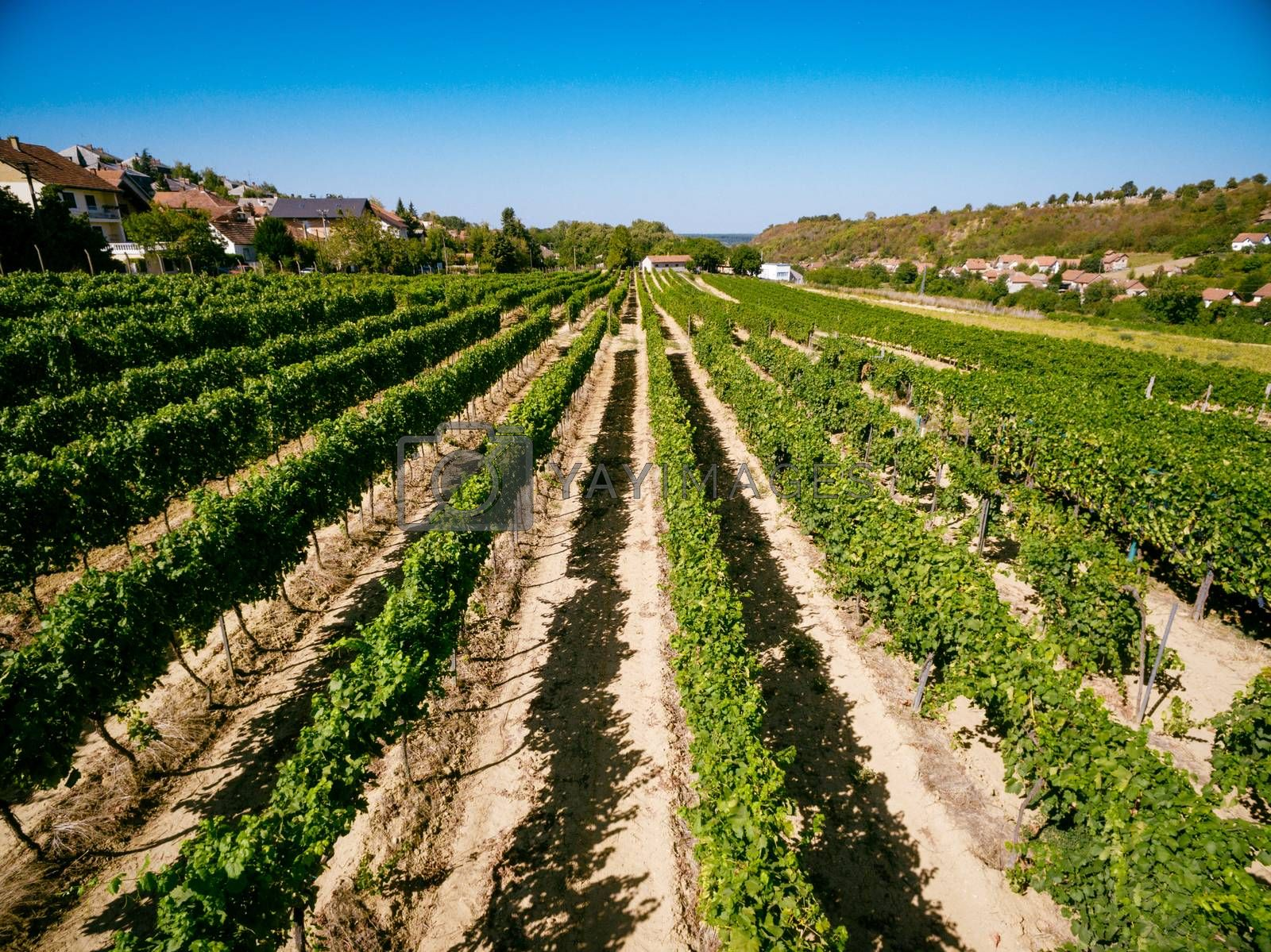 Beautiful vineyard landscape on sunny day.
