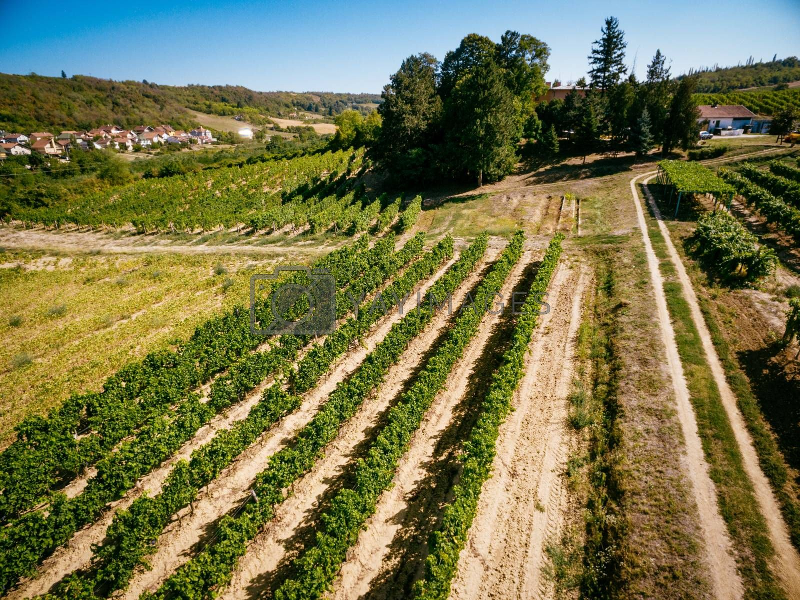Scenic view of vineyard on sunny day.
