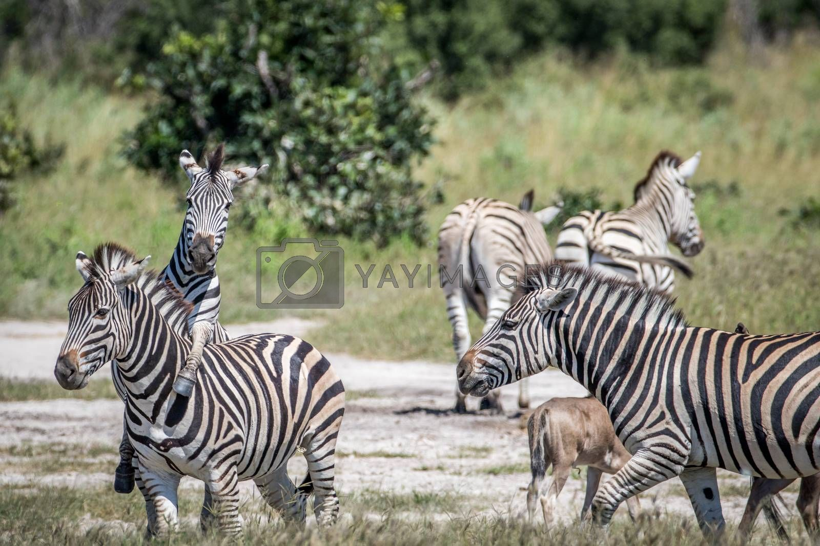 Group of Zebras playing in the Chobe National Park, Botswana.