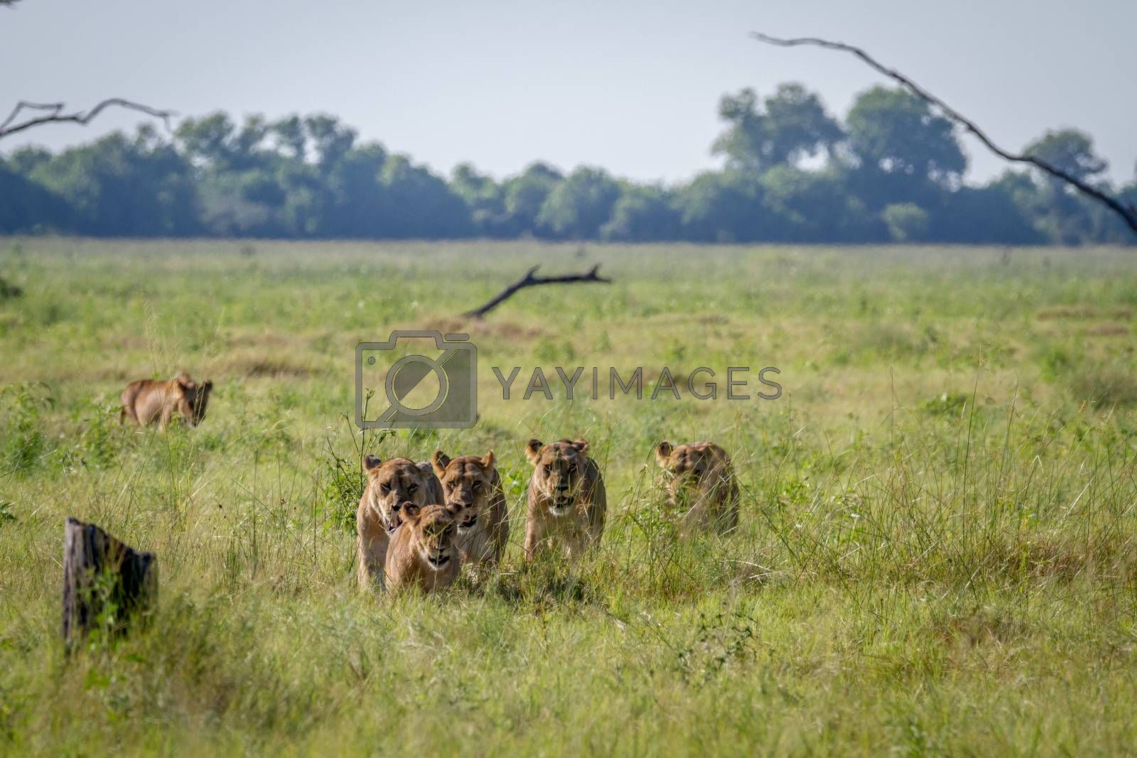 Pride of Lions walking in the grass in the Chobe National Park, Botswana.