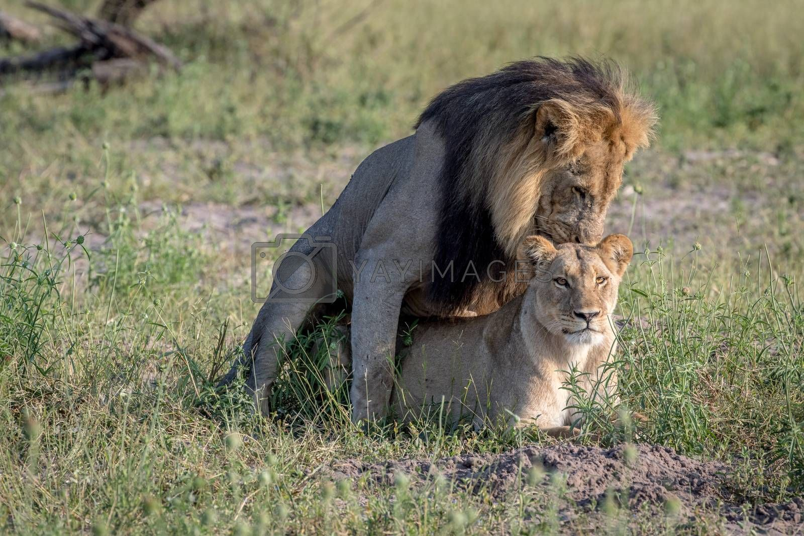 Lions mating in the grass in the Chobe National Park, Botswana.