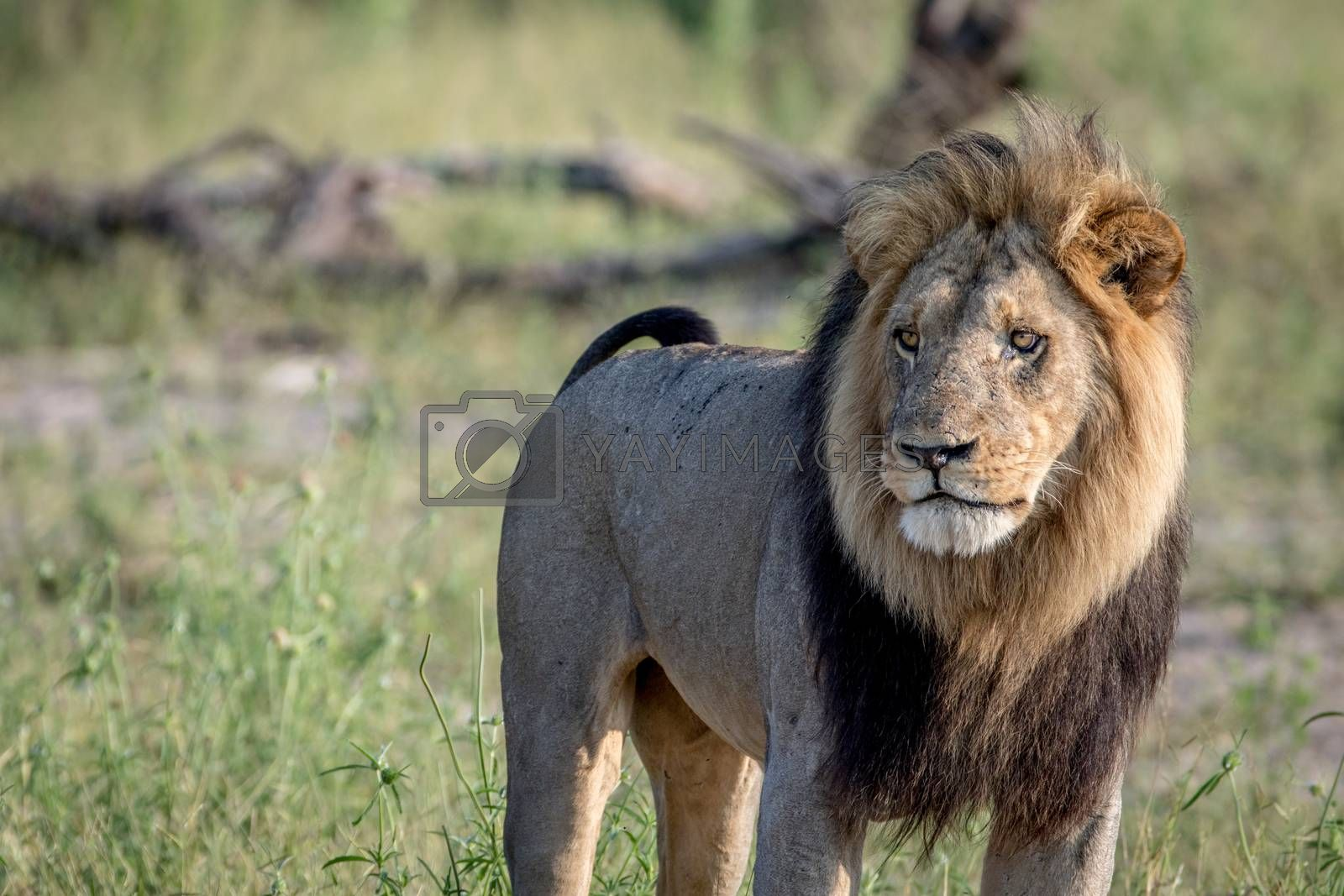 Big male Lion standing in the grass in the Chobe National Park, Botswana.