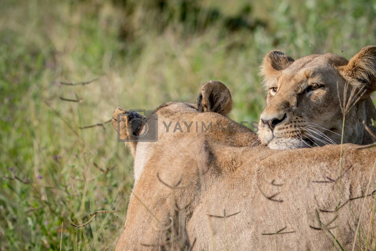 Two Lions bonding in the grass in the Chobe National Park, Botswana.