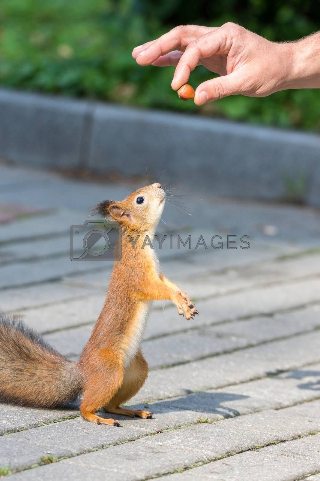 Squirrel asks for a nut on its hind legs