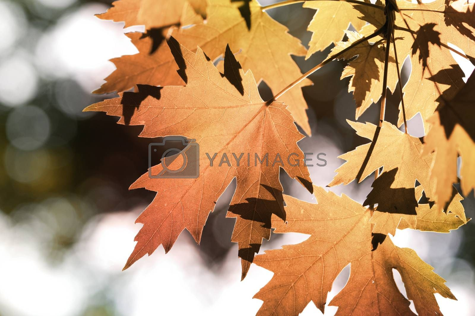 Brown autumn leaves on a tree in the forest
