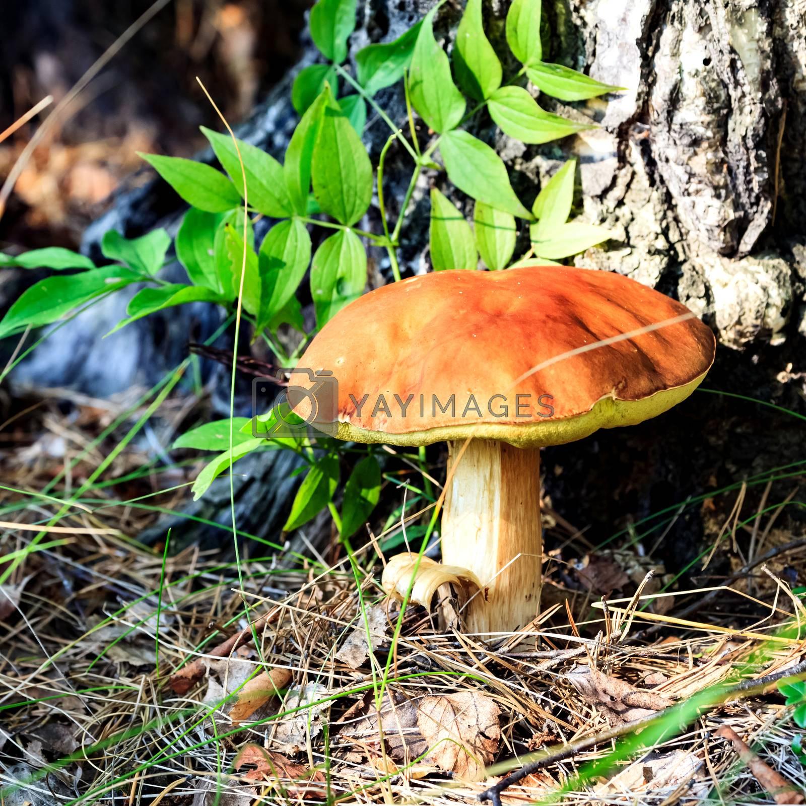 Big mushroom under the tree