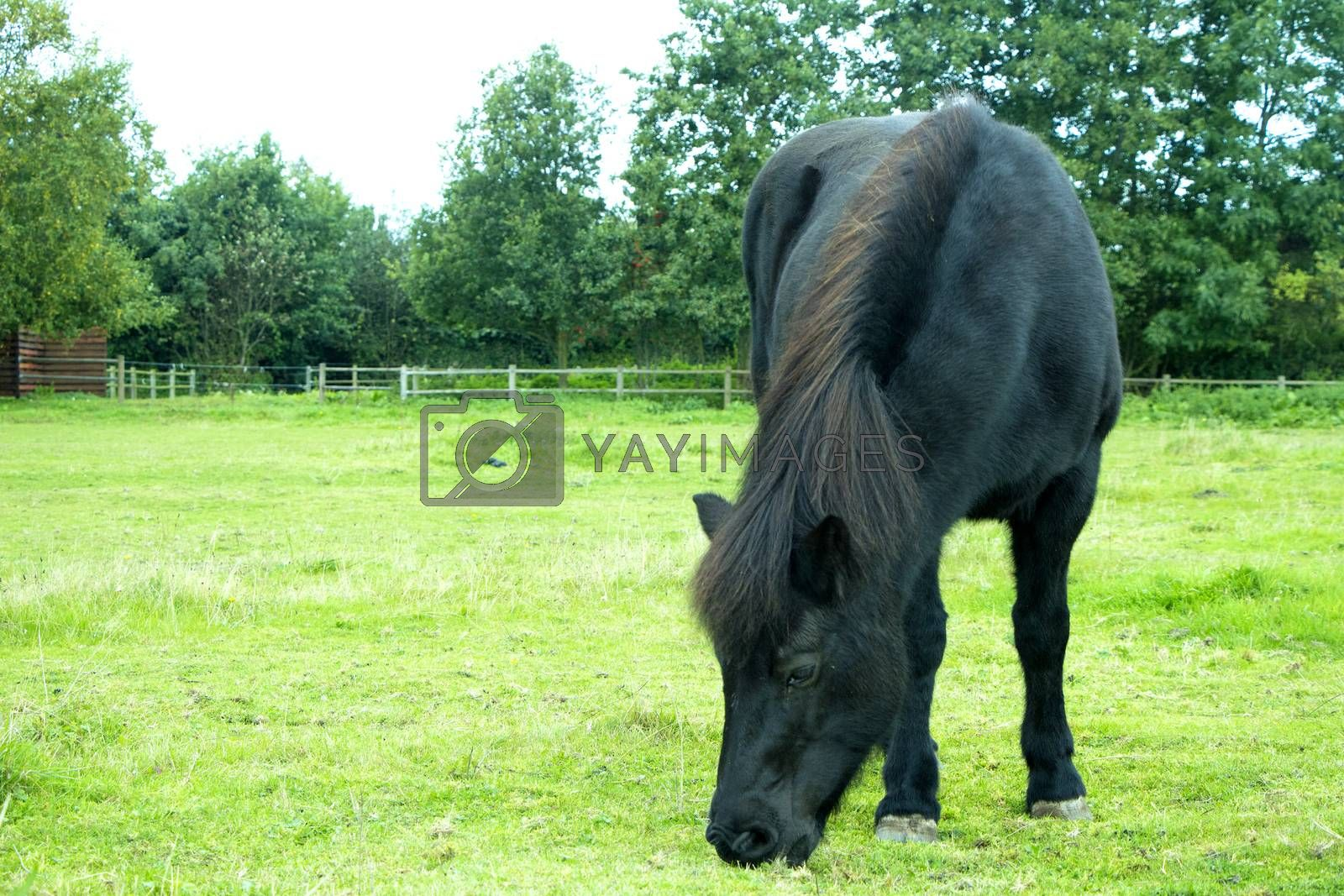 Black horse eating and standing on green grass field on a sunny day in summer.