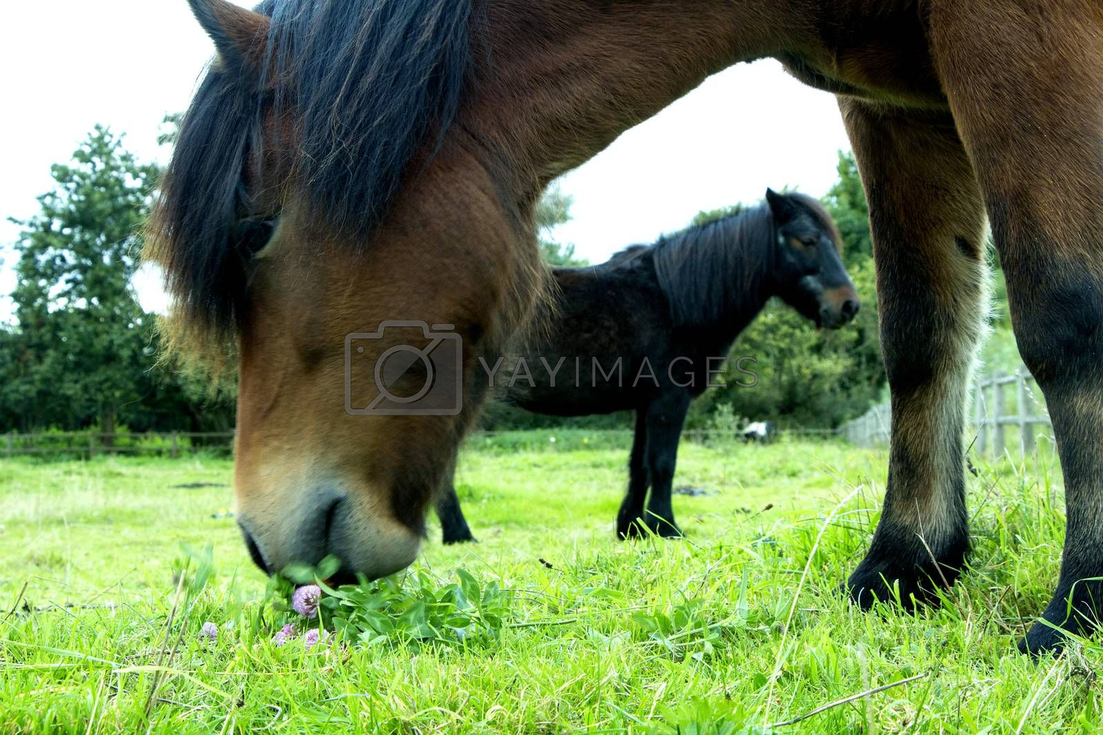 Two horses standing and eating on a grass field outdoors in the summer