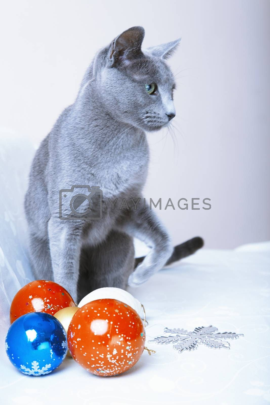 Cat sitting at the Christmas balls and decoration