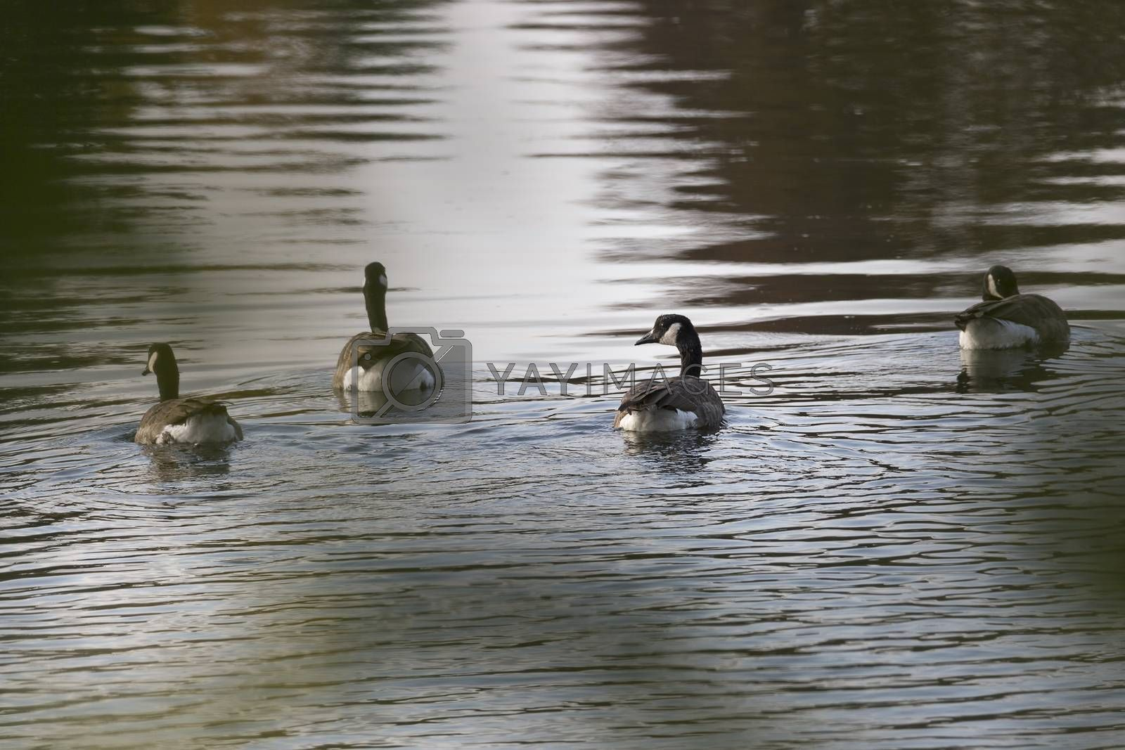 Four Canada Geese Swimming in Water.